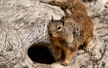 Wallpaper: Squirrel Portrait