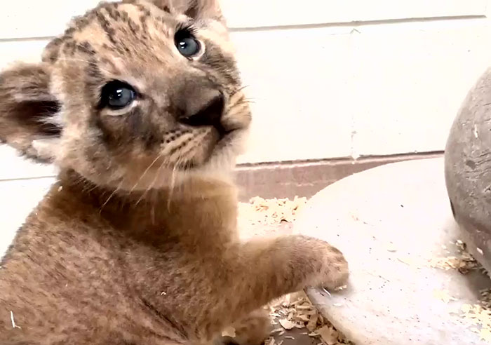 Heart-Melting Video Shows Male Lion Crouching Down To Meet His Baby Cub For The First Time