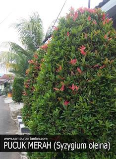 Klasifikasi dan Morfologi dari Pucuk Merah (Syzygium oleana)
