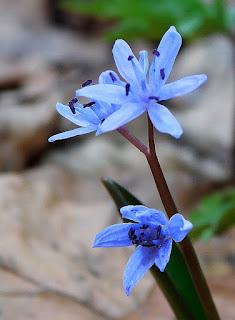 Cebulica dwulistna (Scilla bifolia L.).