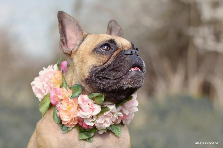 Hund Blumen, Blumenkranz, Blumenhalsband, Französische Bulldogge, Blümchen, Flower Sog Collar, Hundeblog