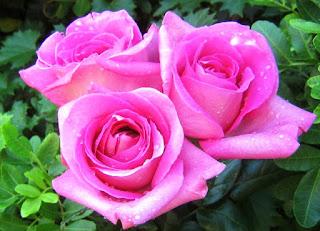 Gambar Bunga Mawar Yang Cantik Mempesona 200164_Pink Roses