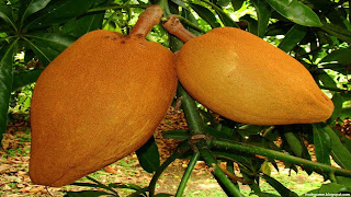 mamey sapote fruit images wallpaper