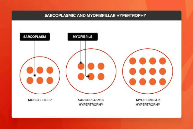 Hypertrophy là gì 2