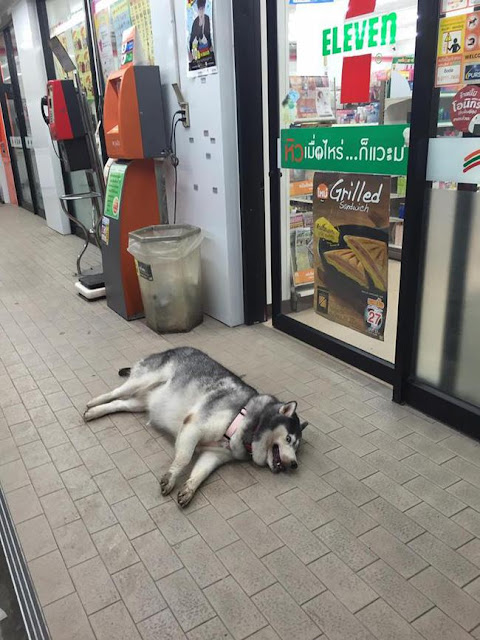 """""""Chú chó quốc dân"""" của Thái Lan gây sốt vì... đi đâu cũng mang theo gối, nằm đâu cũng ngủ được!"""