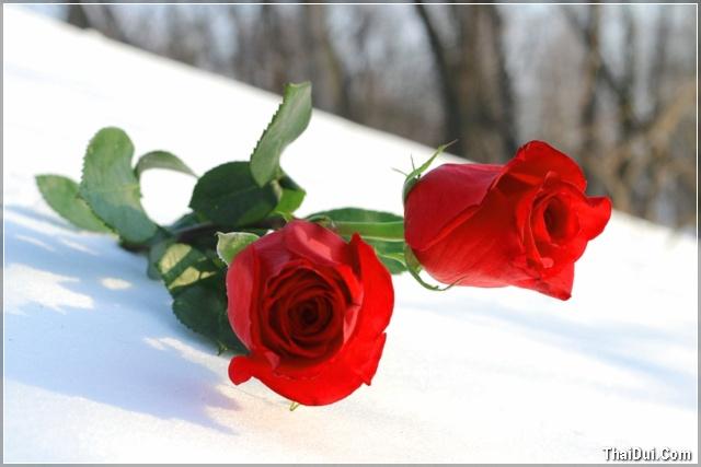 ảnh hoa hồng và băng tuyết