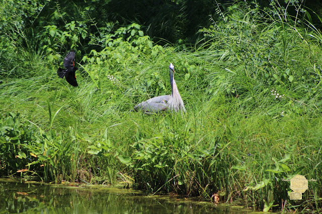 Annoyed - Heron And Red Winged Blackbird 1 Of 10