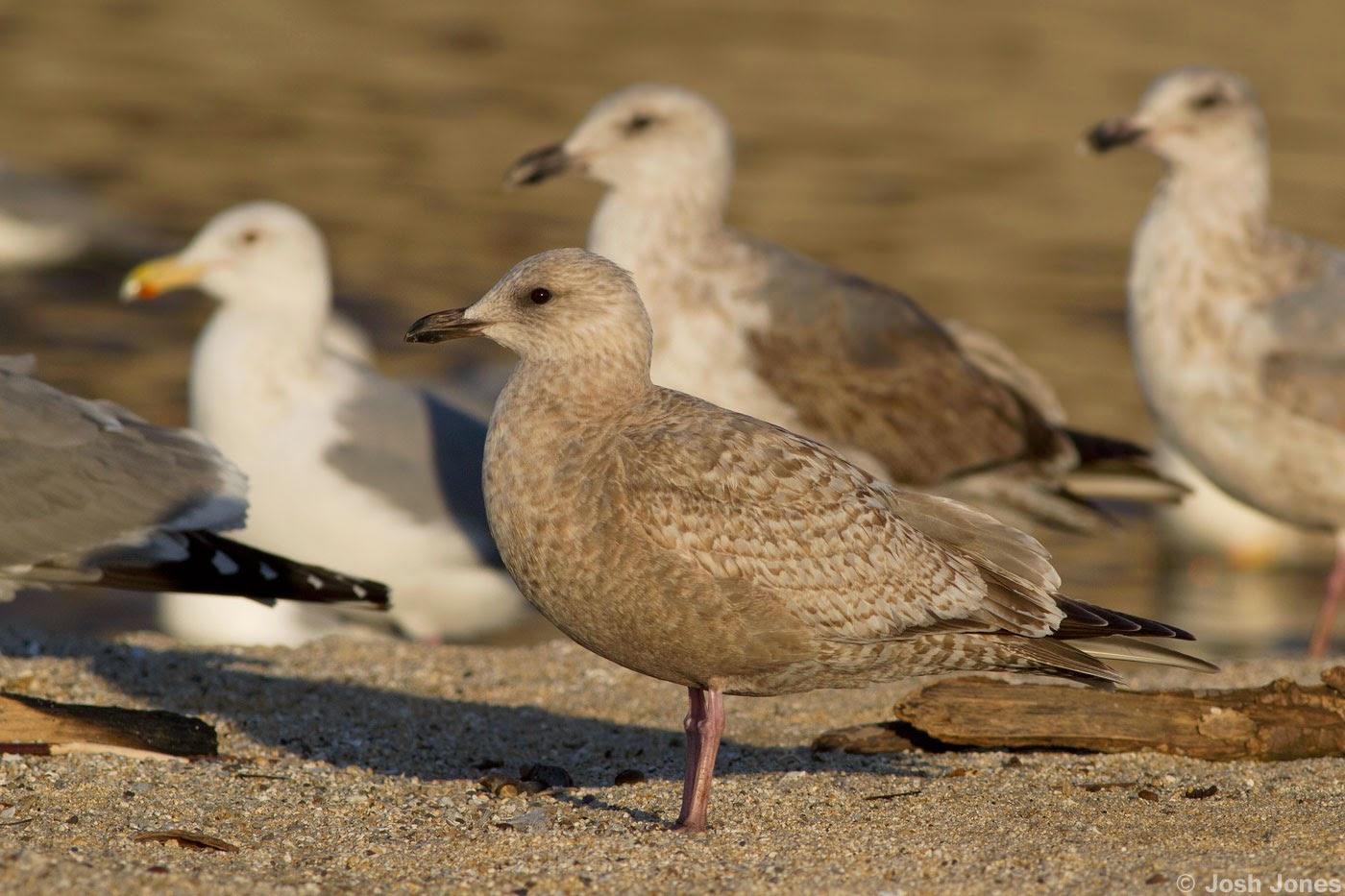 Gyrfunken: Thayer's Gull |Thayers Gull