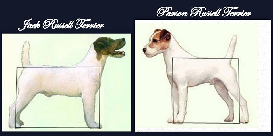 What Is The Difference Between A Parson Terrier And A Jack