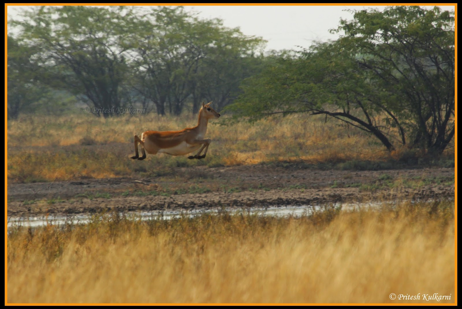 Run fast....Blackbuck in Velavadar