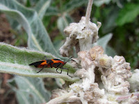 Large milkweed bug (Oncopeltus fasciatus) on Indian milkweed (Asclepias eriocarpa), Fish Canyon Trail