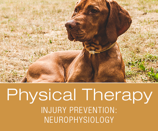 Physical Therapy for Dogs - Canine Athlete Injury Prevention beyond Traditional Means: Using Neurophysiology