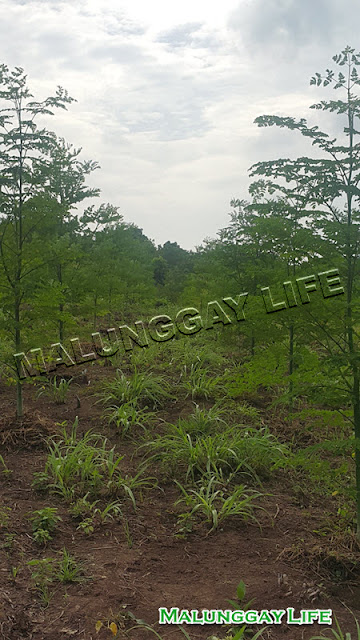 moringa-plant