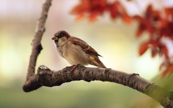 Wallpaper: Sparrow - Bird