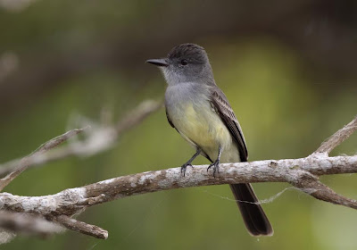 flycatcher birds