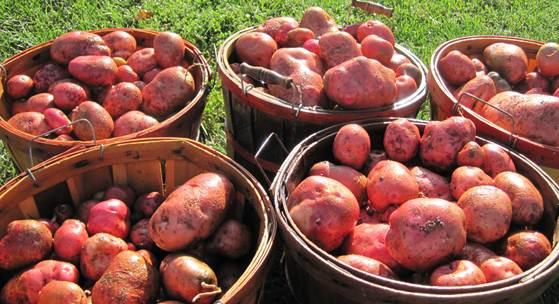 Cara diet sehat dengan kentang merah karena kentang merah memiliki manfaat untuk diet