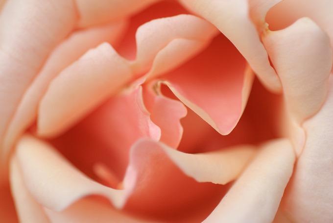 Cailles aux pétales de roses #challengeLireManger