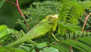 Binatang Bunglon termasuk hewan Agamidae