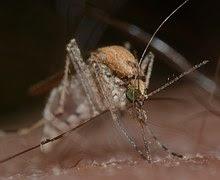 mosquito - lassa fever
