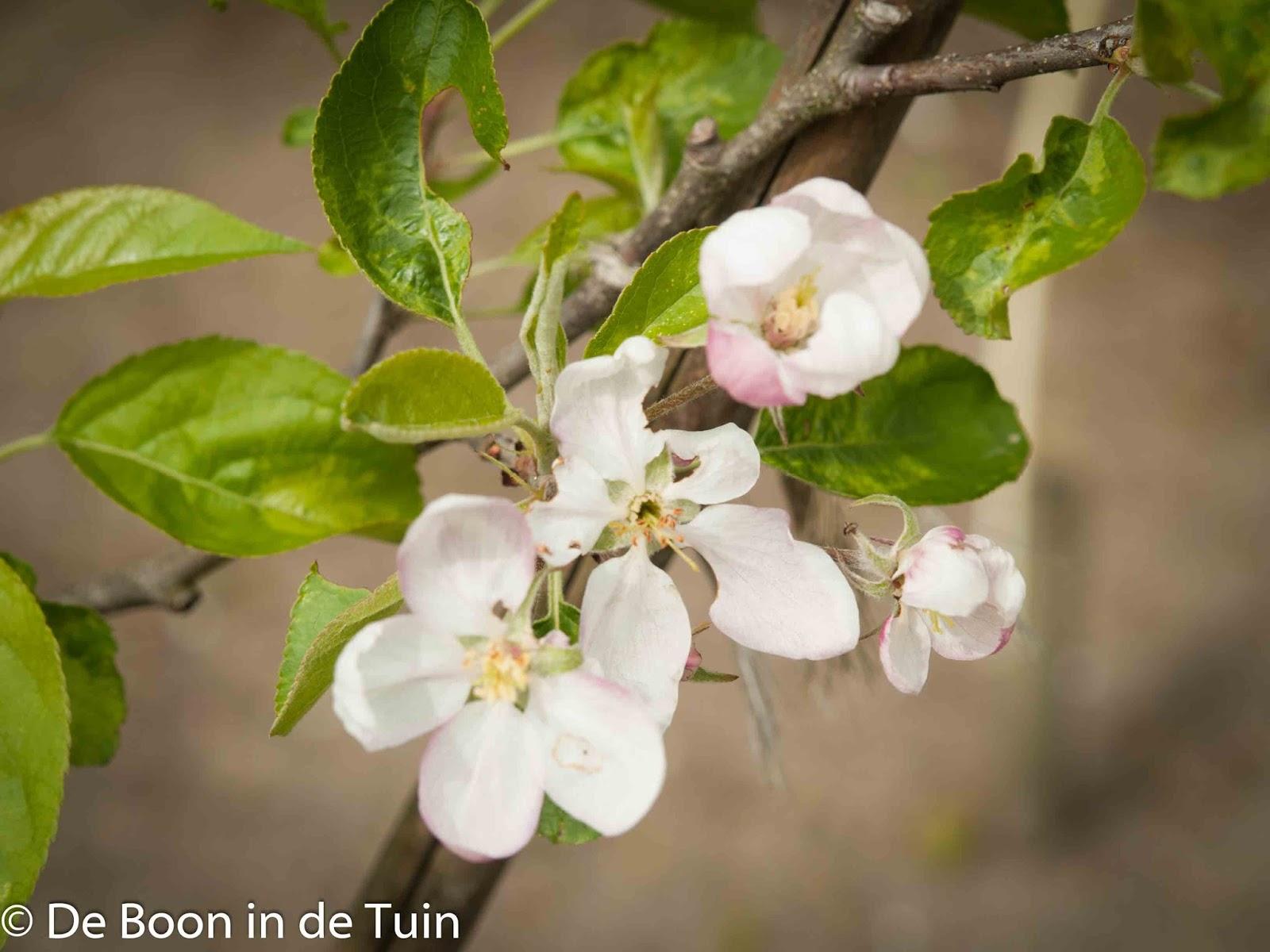 Golden Delicious appelboom bloesem lente voorjaar volkstuin moestuin