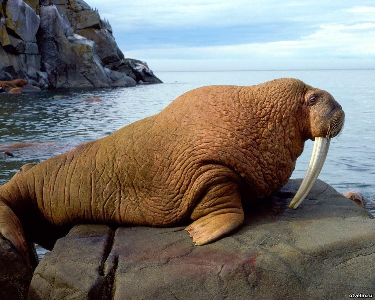 Секс между моржами