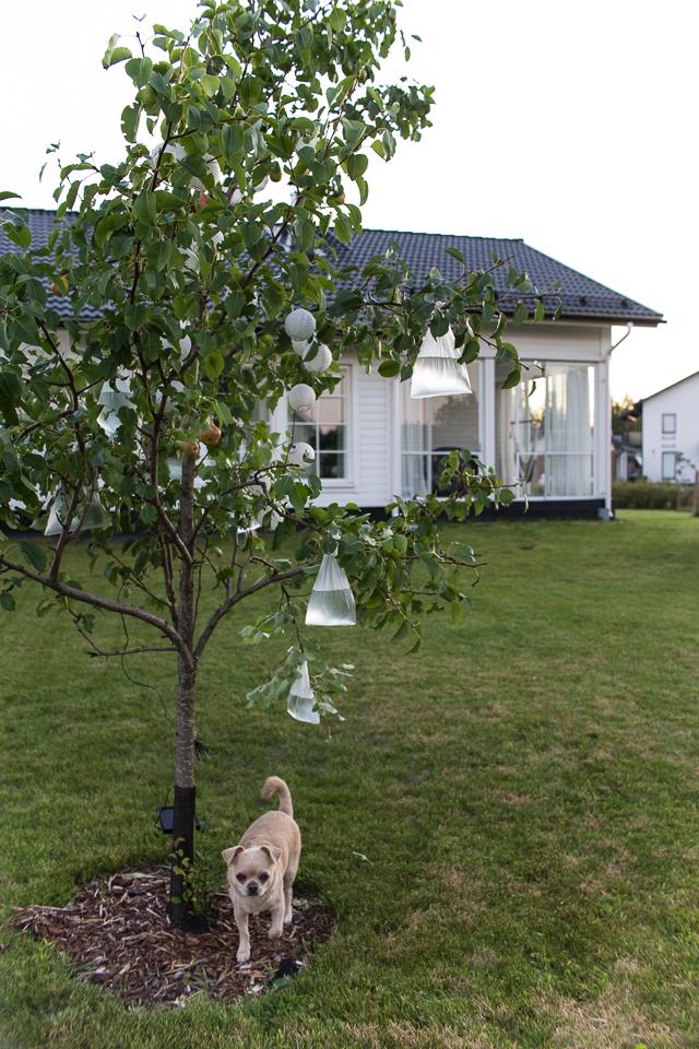 Villa H, puutarha, syyskierros, päärynäpuu, lasitettu terassi