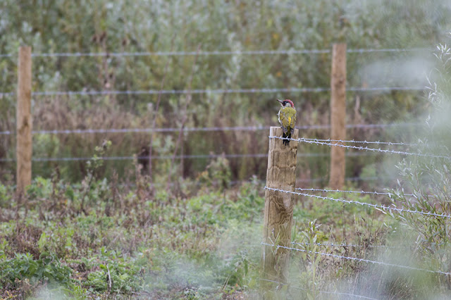 Off the Post - Green Woodpecker