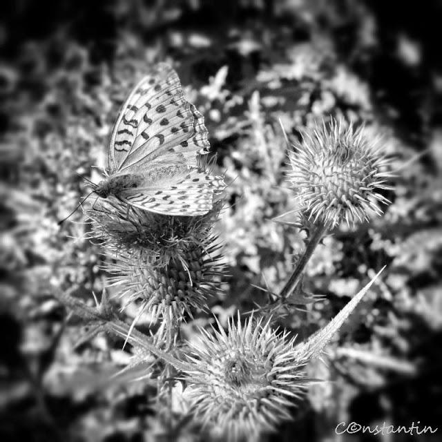Un fluture pe o floare de scai - varianta a/n - ies in evidență texturile - blog FOTO-IDEEA