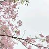 Suasana Jepang Tengah Menyelimuti Kota Surabaya, Karena Tumbuh Bermekaran Bunga Tabebuya