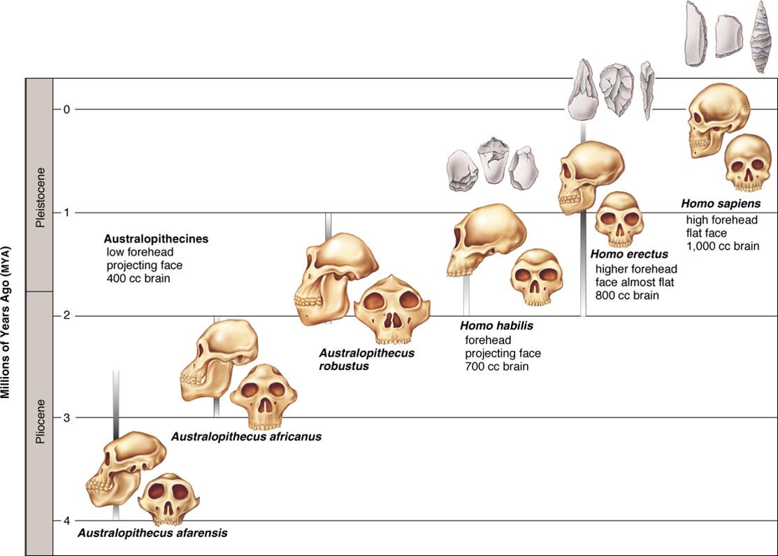 Biological Trends In Human Evolution And Cultural