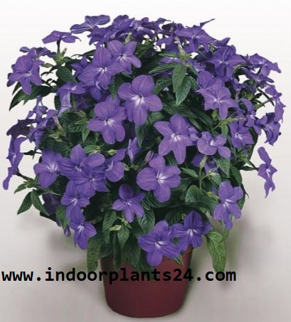 Browallia speciosa house indoor plant picture