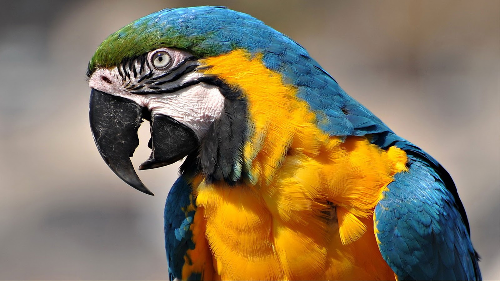 Latest Bollywood Hd Wallpapers Macaw Parrot Hd Wallpapers High Definition Free