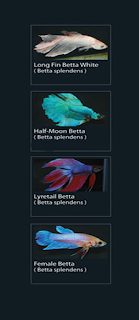 half moon betta (betta splendens)  18 lyretail betta (betta splendens)  19 female betta (betta splendens)