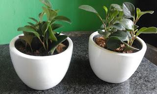 sewa tanaman kecil