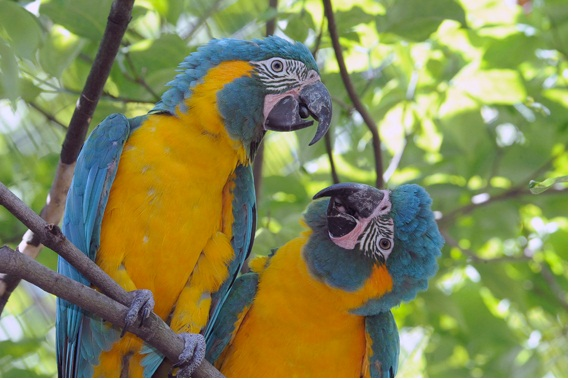 Blue-throated macaw is extinct animal