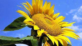 Gambar Bunga Matahari Paling Indah 200015_Sunflower
