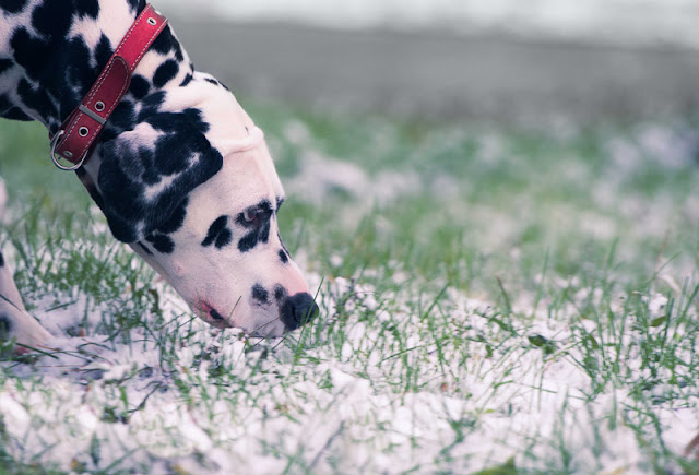 Five fun things to do to make your dog happy today. No 1: Go on snifair. This Dalmatian dog is enjoying a sniffari on the frosty grass