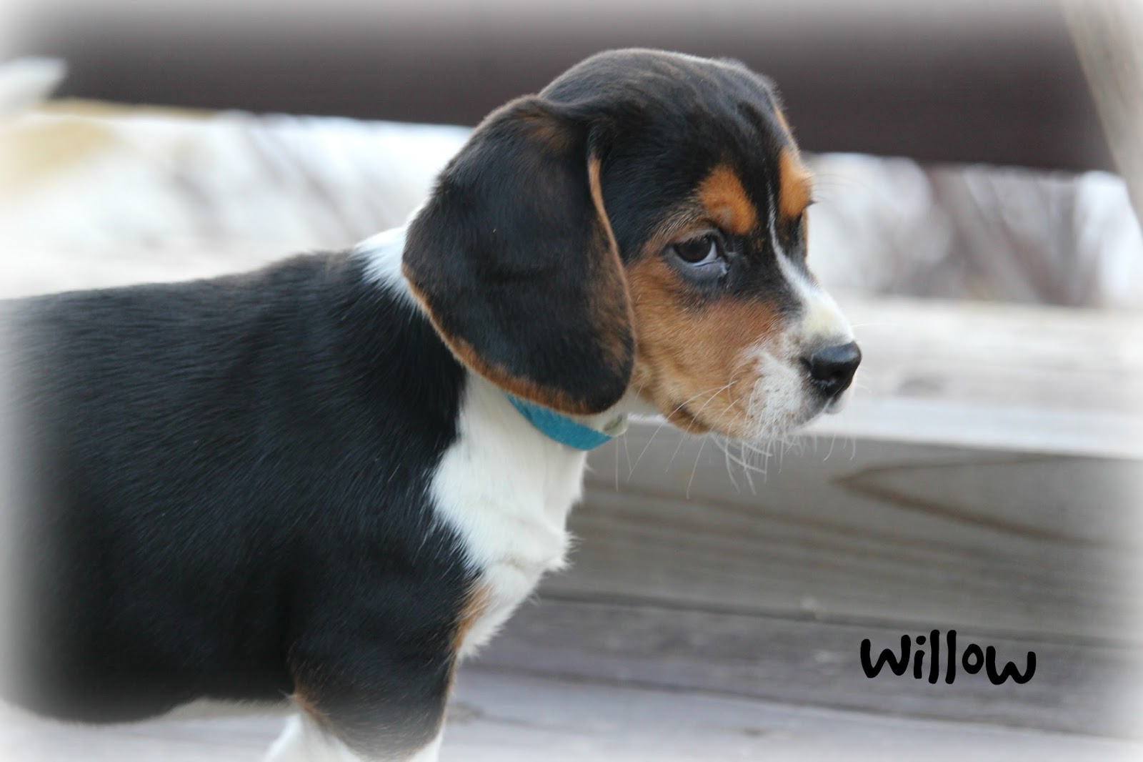 Best Two Beagle Adorable Dog - wil  2018_383466  .jpg