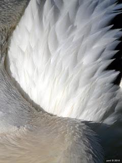 pelican fluff