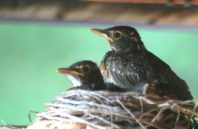 Robin nest, baby birds ~ the miracle of life :: All Pretty Things