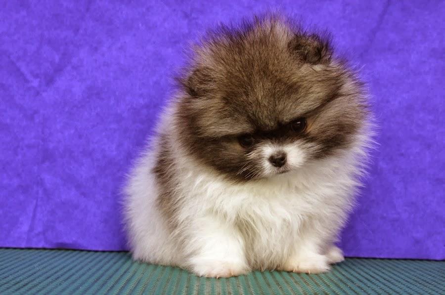 husky puppies pomeranian - photo #6