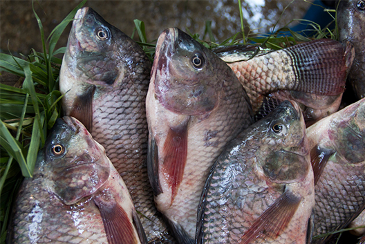 Tilapia imports banned due to unknown virus