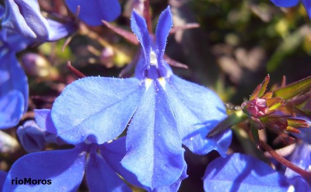 Flor de LOBELIA Lobelia erinus