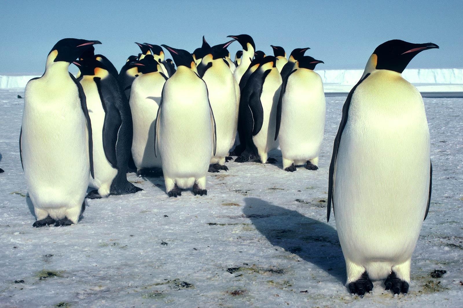 Все про пингвинов картинки татуировку