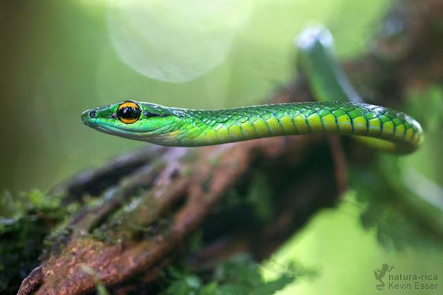 Parrot Snake - Leptophis ahaetulla