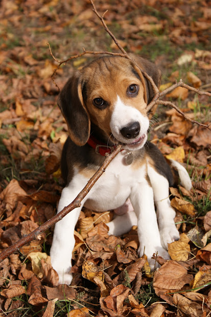 Fall Pictures with Beagle Puppies