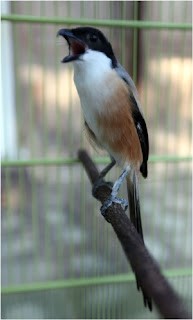 Burung Cendet - Ciri Fisik Burung Cendet dan Cara Membedakan Burung Cendet Jantan dan Burung Cendet Betina - Penangkaran Burung Cendet