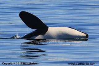 J-Pod Morning, Orca Reunion Afternoon! | Island Adventures