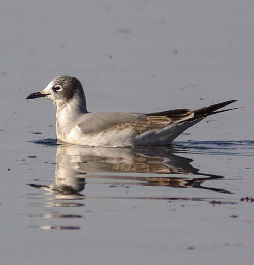 Birds of India - Photo of Franklin's gull - Leucophaeus pipixcan