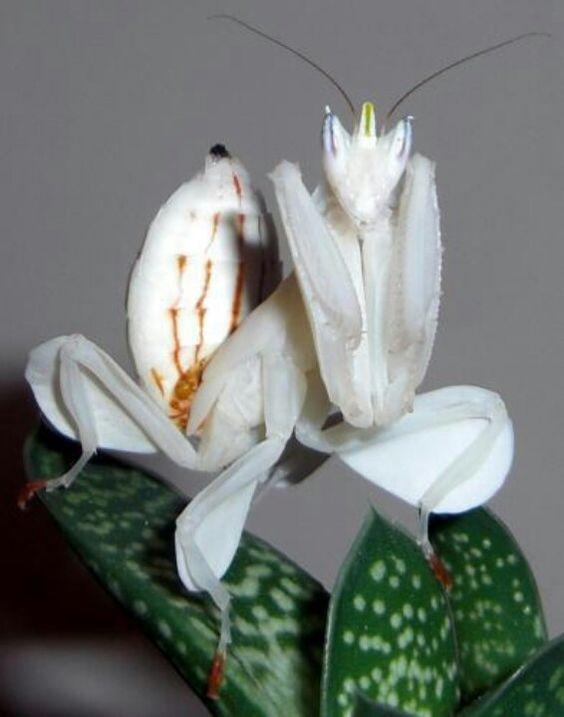 Mantis | A-Z List of 125 Rare Albino Animals [Pics]